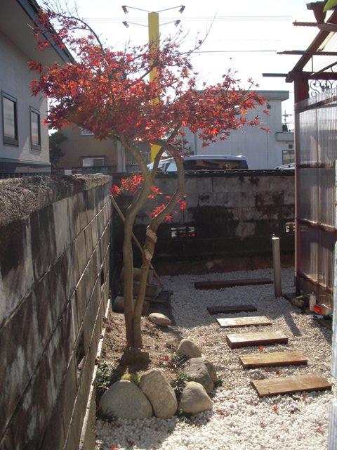 楓(カエデ)も色づく季節 (NO27)